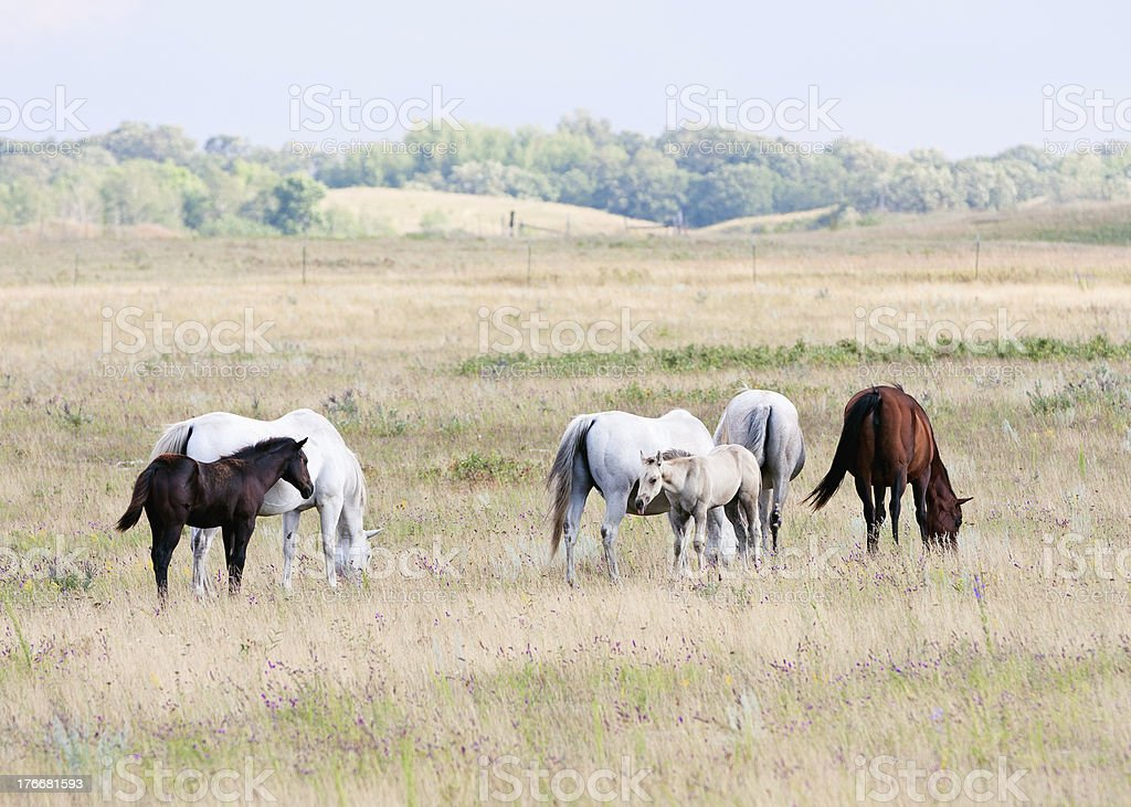 Horses in a Pasture royalty-free stock photo