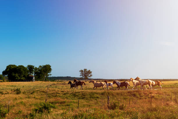 Horses in a ranch with an old barn in the background in rural Texas at sunset, USA stock photo