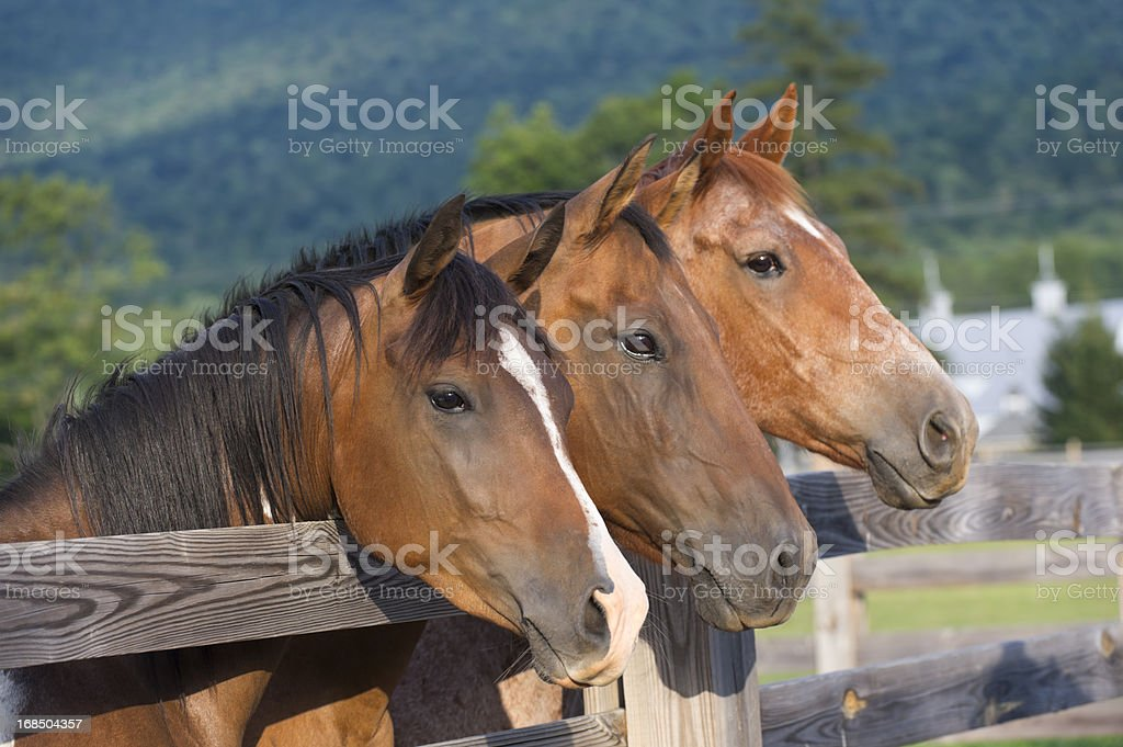 Horses in a Row At The Fence, Three Quarterhorses stock photo