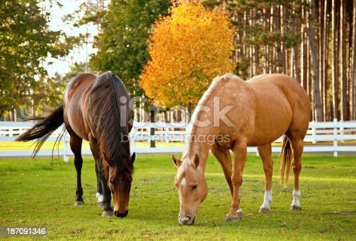 Two horses grazing in autumn.