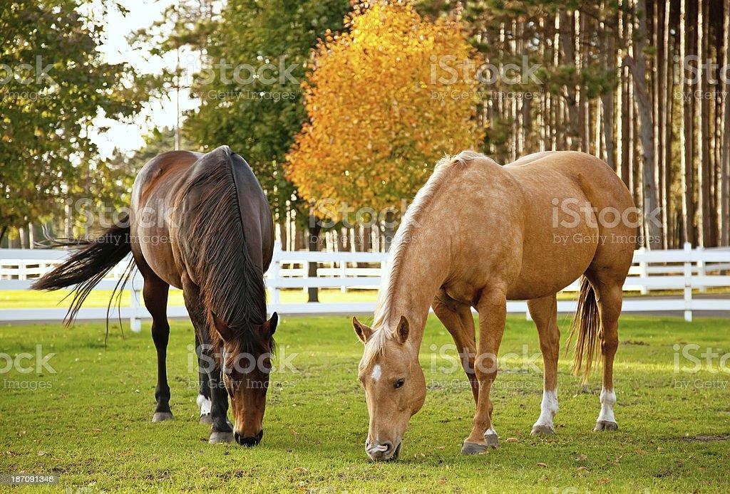 Horses in Autumn stock photo
