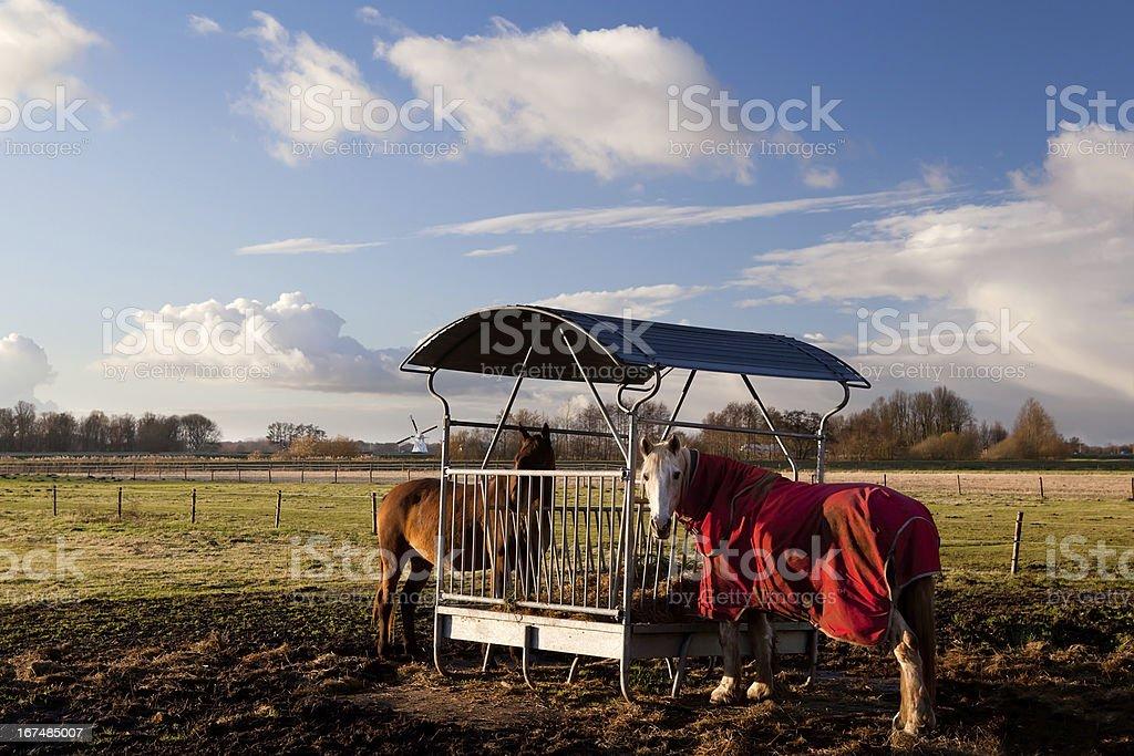 horses in blanket feeding stock photo
