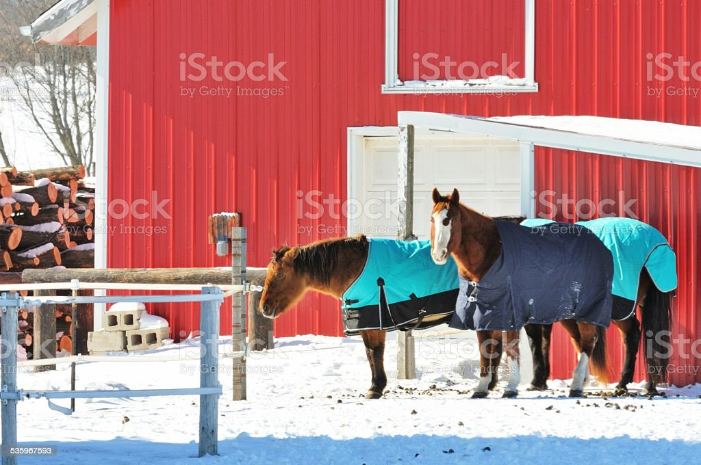 Horses in Blankets stock photo