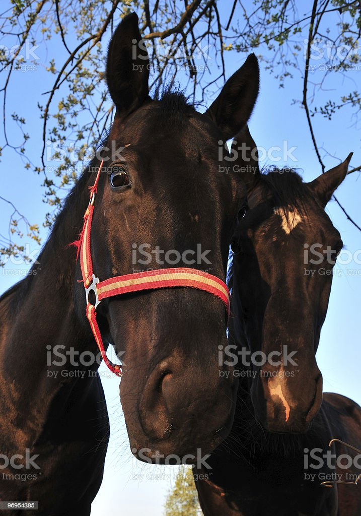 horses in blue royalty-free stock photo