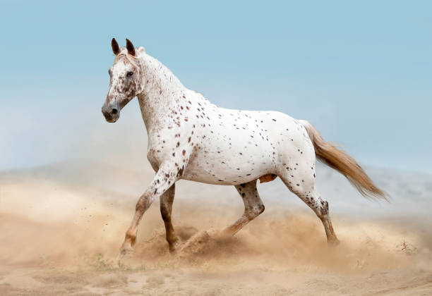 Horses in desert Horses in the desert appaloosa stock pictures, royalty-free photos & images