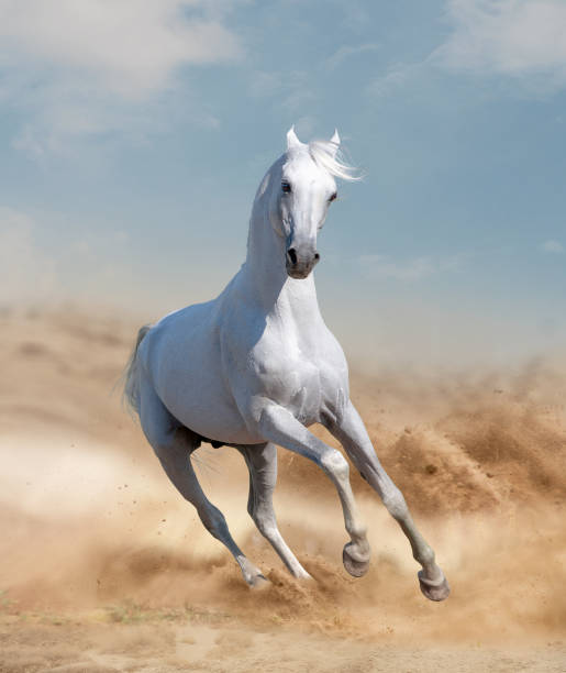 Horses in desert Horses in desert arabian horse stock pictures, royalty-free photos & images