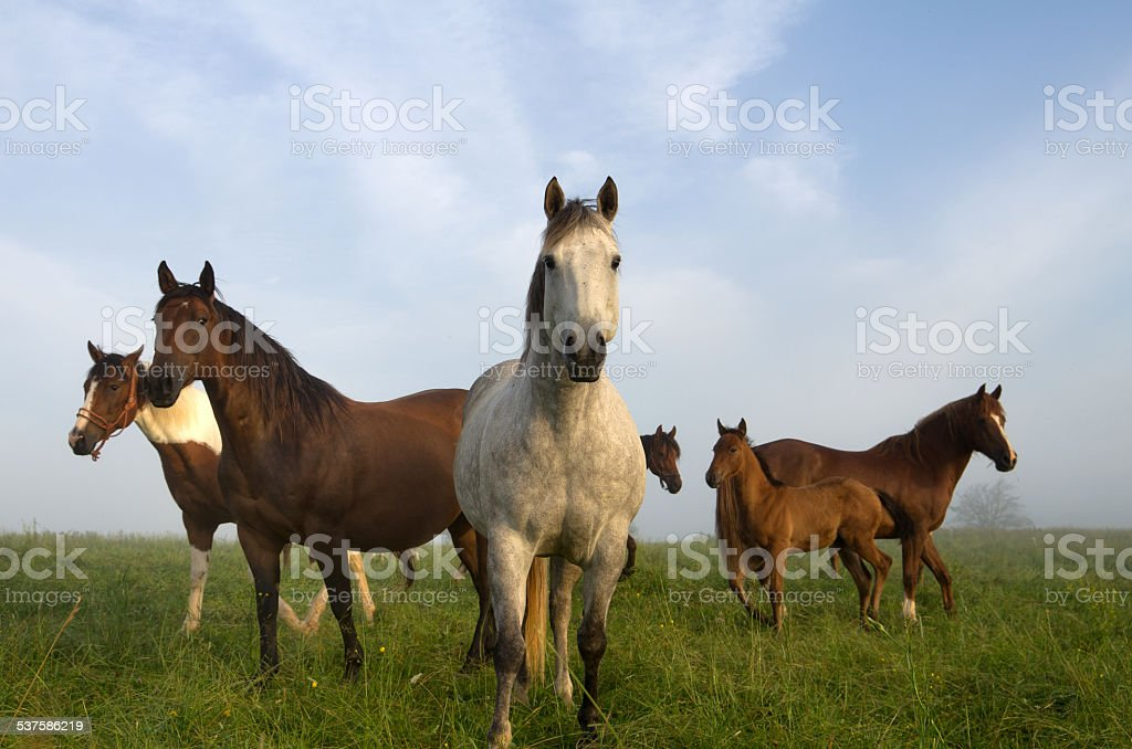 Horses in Early Morning in Pasture stock photo