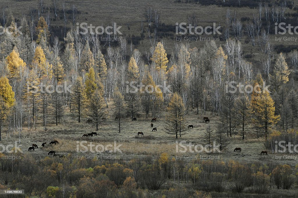 horses in forest stock photo