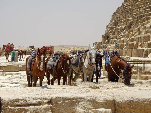 Horses in front of a Pyramid in Egypt stock photo