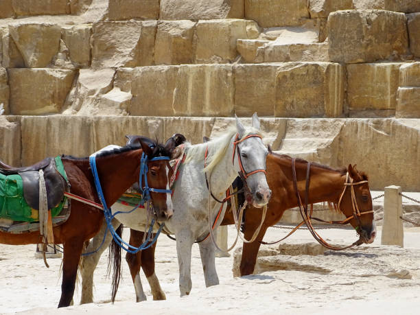 Horses in front of a pyramid stock photo