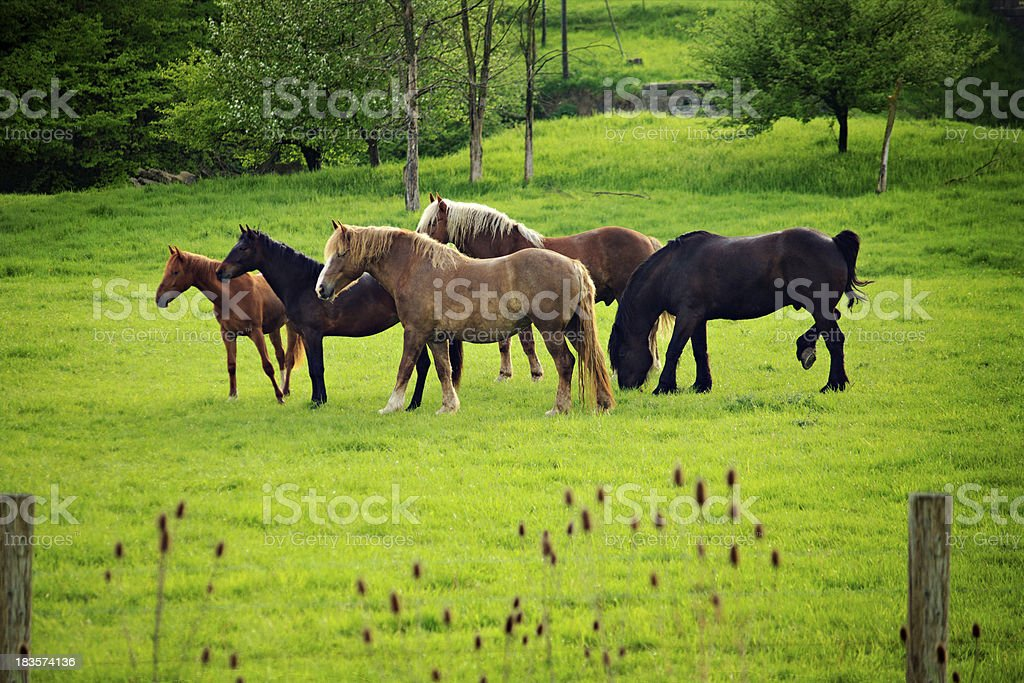 Horses in Green Pasture royalty-free stock photo