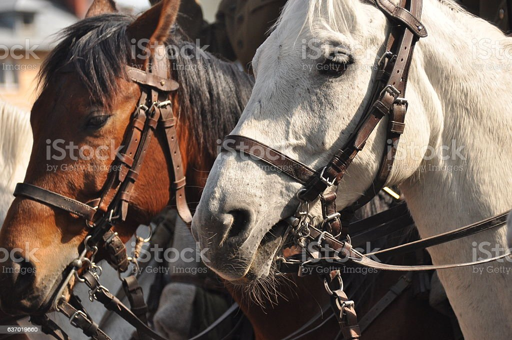 Horses in harness on parade in full dress. Polish cavalry. stock photo