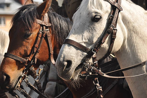 horses in harness on parade in full dress. polish cavalry. - horse bit stock pictures, royalty-free photos & images