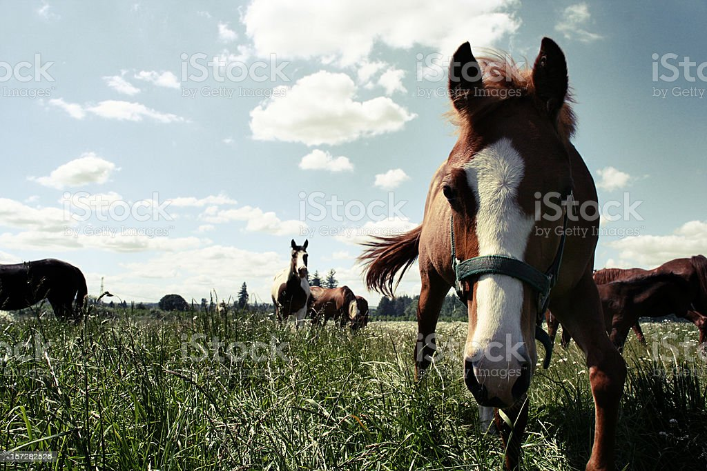 Horses in Large Field royalty-free stock photo