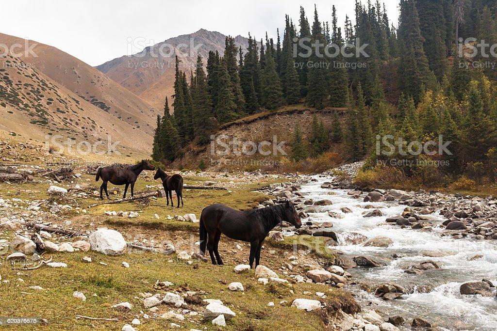 Horses in mountains of Kyrgyzstan, Central Asia zbiór zdjęć royalty-free