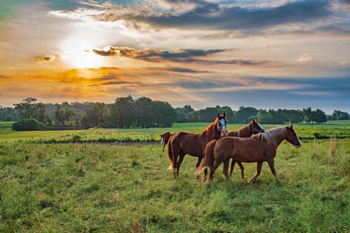 Horses in Pasture at Sunup