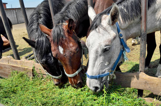 Horses in pen are eating green grass from a manger stock photo