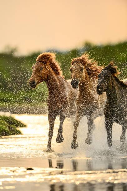 Horses in river picture id847030034?b=1&k=6&m=847030034&s=612x612&w=0&h=yikkur2ej5ngp itetih3imihvrditblbb lhnygnvm=