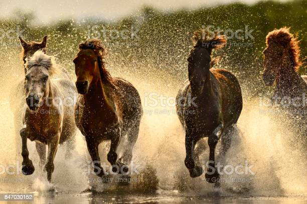 Horses in river picture id847030152?b=1&k=6&m=847030152&s=612x612&h=pfly2msr6qiqwsch34vpfderfvcr3s4n5cwjucdup4a=