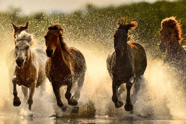 Horses in river picture id847030152?b=1&k=6&m=847030152&s=612x612&w=0&h=t zlzckk3omxrtepmolc qtssno7gnkr4f7i6svw0q0=