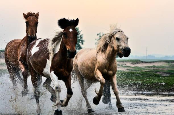 Horses in river picture id847030202?b=1&k=6&m=847030202&s=612x612&w=0&h=xc52r20sdnku8x k0rrjomb4rwdfeo1mlijrjscxoxi=