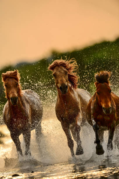 Horses in river picture id847030212?b=1&k=6&m=847030212&s=612x612&w=0&h=p3luf3rsmm77pz5teegloj3kajs96dgzwsbndxgaqha=