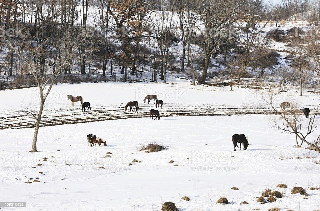 Horses in Snow royalty-free stock photo