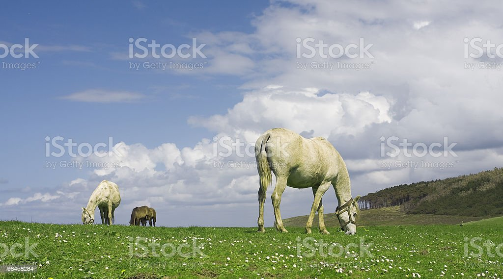 Horses in spring meadow royalty-free stock photo