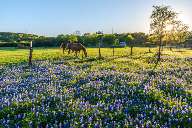 horses in spring - bluebonnet stock photos and pictures