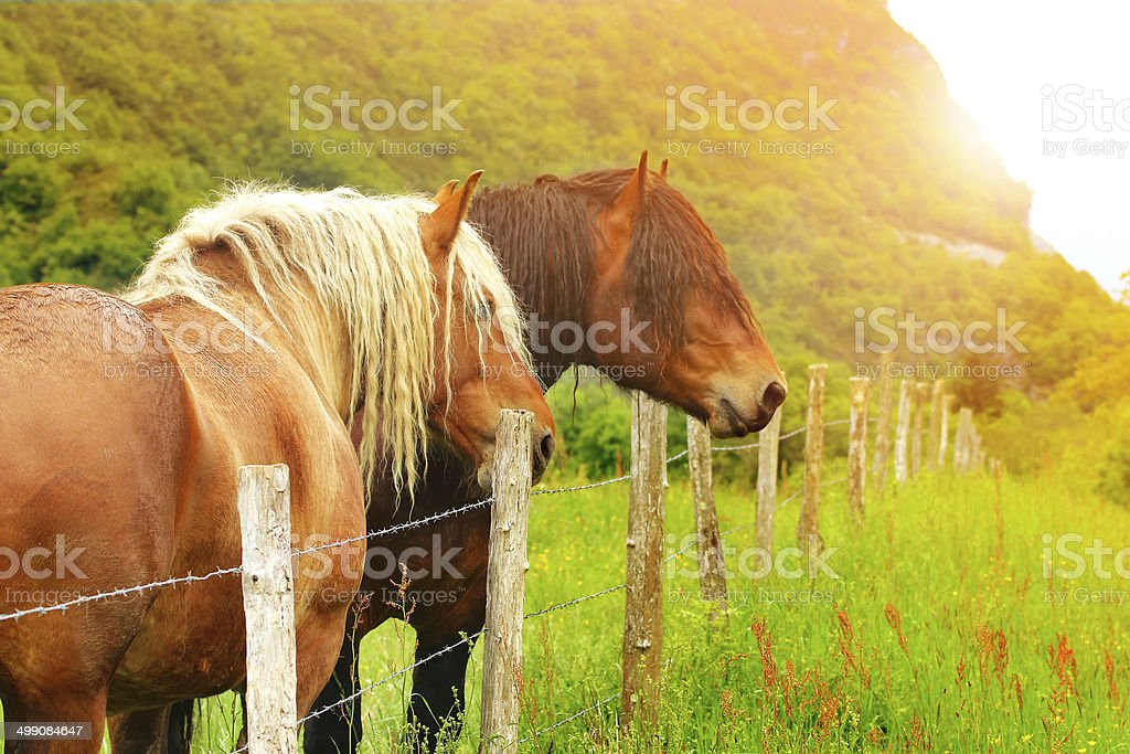 Horses in sunset stock photo