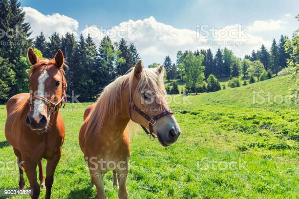 Horses in the meadow in summer picture id960340822?b=1&k=6&m=960340822&s=612x612&h=przbkh9b0vllpphvpmbiip2csvtloe8woazhuk9okxq=