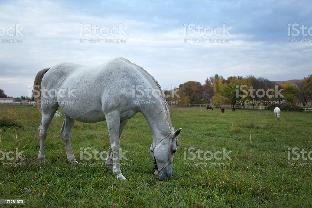 Horses in the meadow royalty-free stock photo