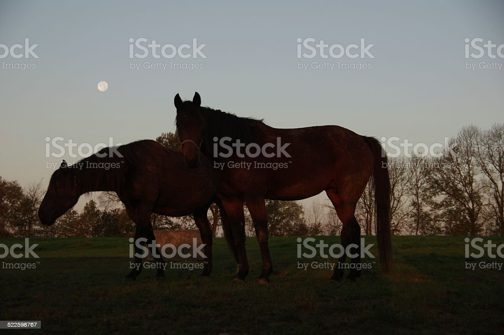 Horses in the morning stock photo