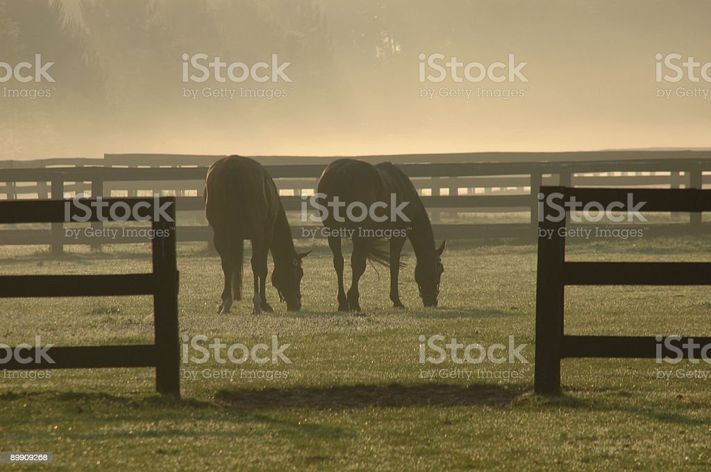 Horses in the Morning royalty-free stock photo