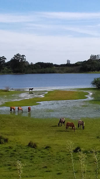 horses in the pond horses in pond, wild life. somme stock pictures, royalty-free photos & images