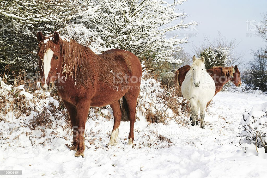 Horses in the Snow, New Forest stock photo