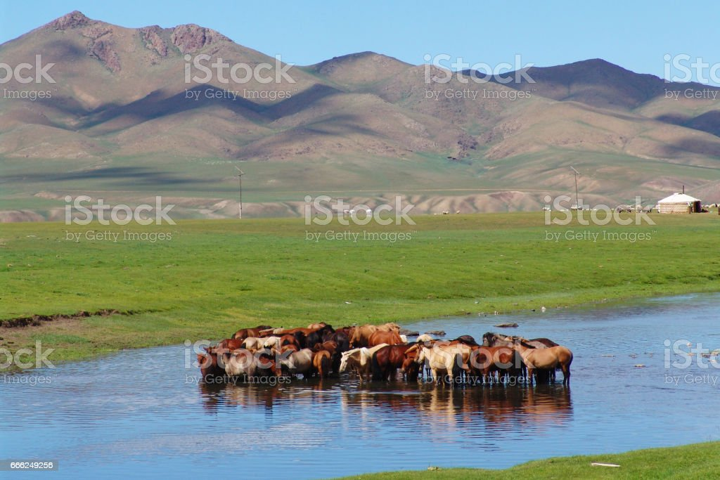 Horses in the water stock photo