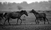 Wild horses live in the pink meadow steppes, in the Suoivang lake, Lam Dong province, Vietnam. Not yet thoroughbred, wild horses have habits and living on the plateau 1500m, wilderness...