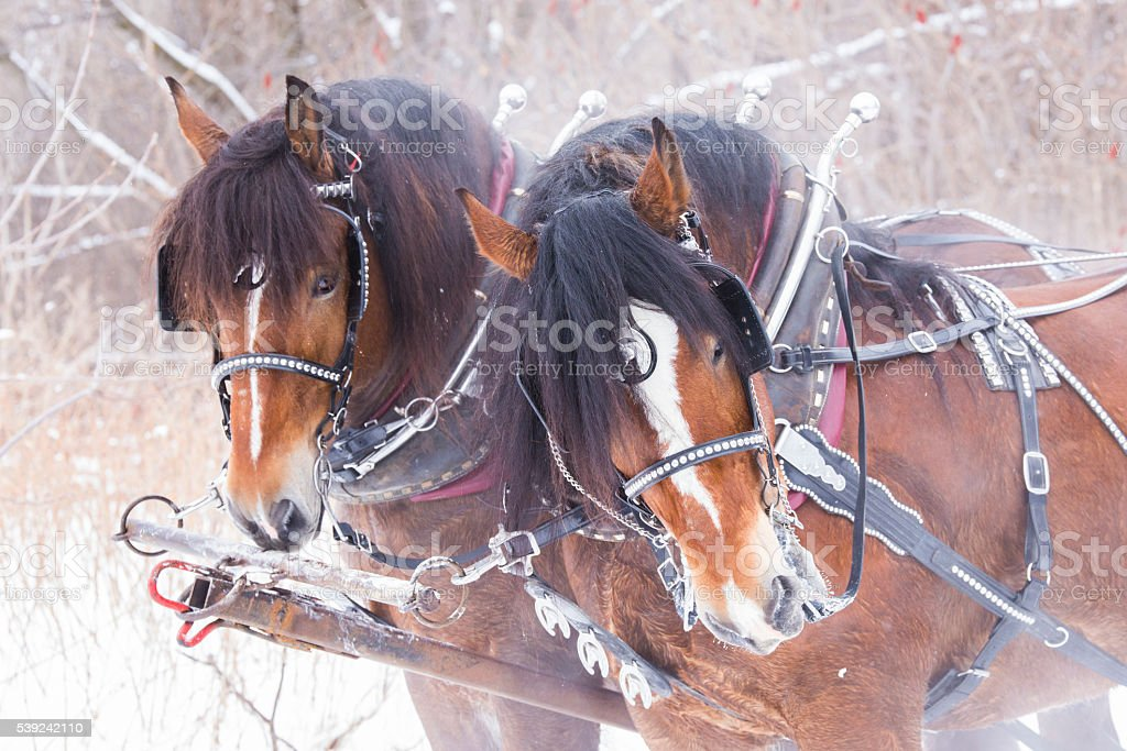 Horses in winter stock photo