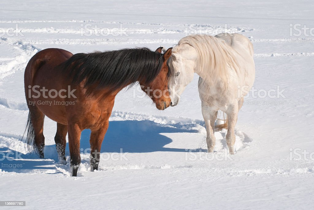 Horses Kissing In Snowy Field Courtship And Mating Behavior