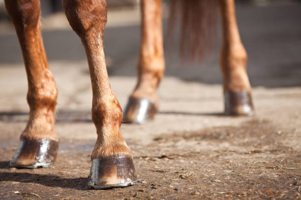Horses Legs and Hooves stock photo