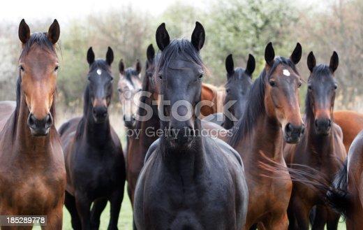 istock Horses looking at camera 185289778