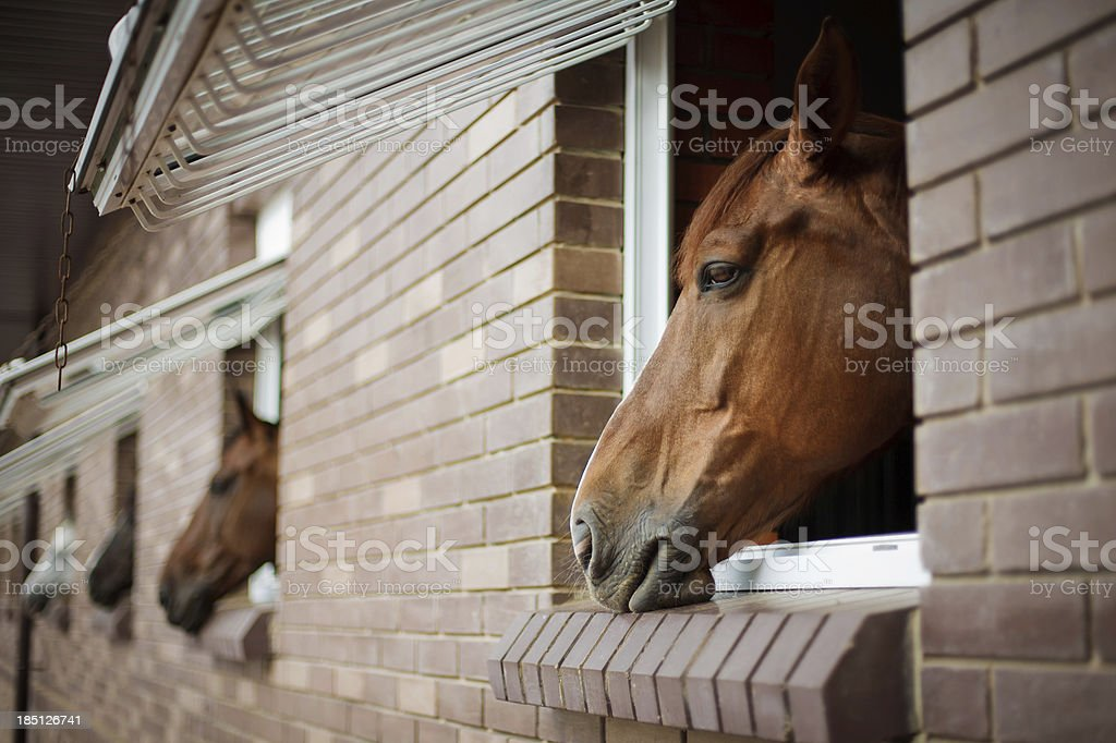Horses looking from the windows of a stable stock photo