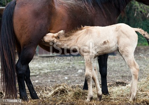 two brown horses Mare and foal