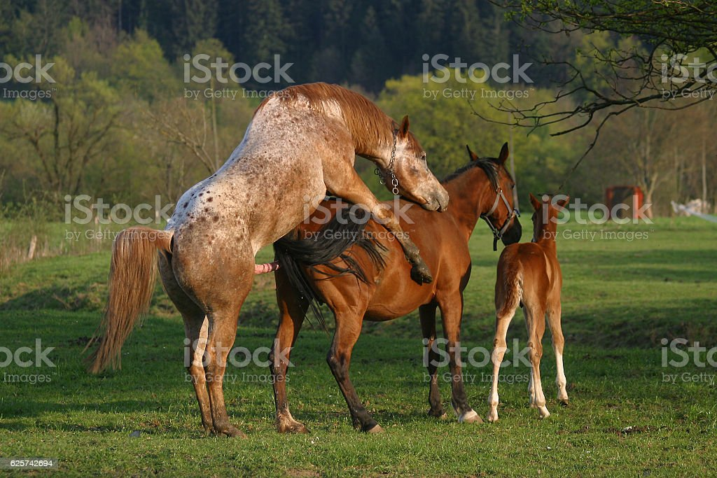 horses mating stock photo