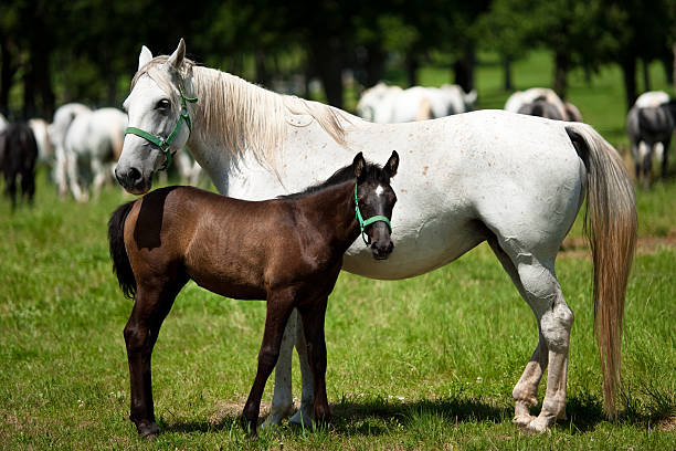 Horses: Mother and Child stock photo