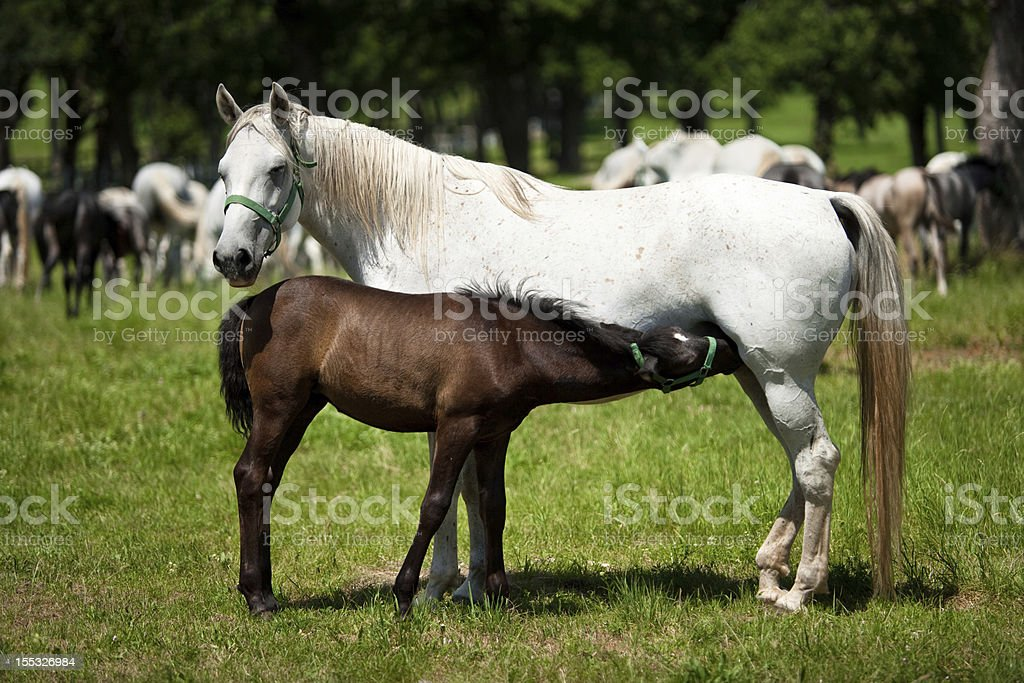 Horses: Mother and Child Foal feeding. Mare looking at camera. Lipica horses from Slovenia. Abundance Stock Photo