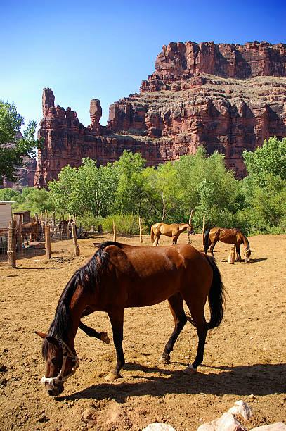 Horses near Grand Canyon stock photo
