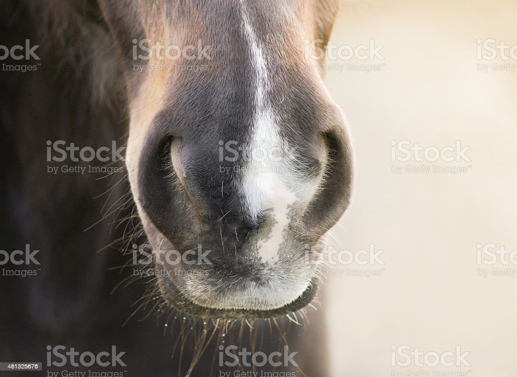 Horses nose with a white mark stock photo