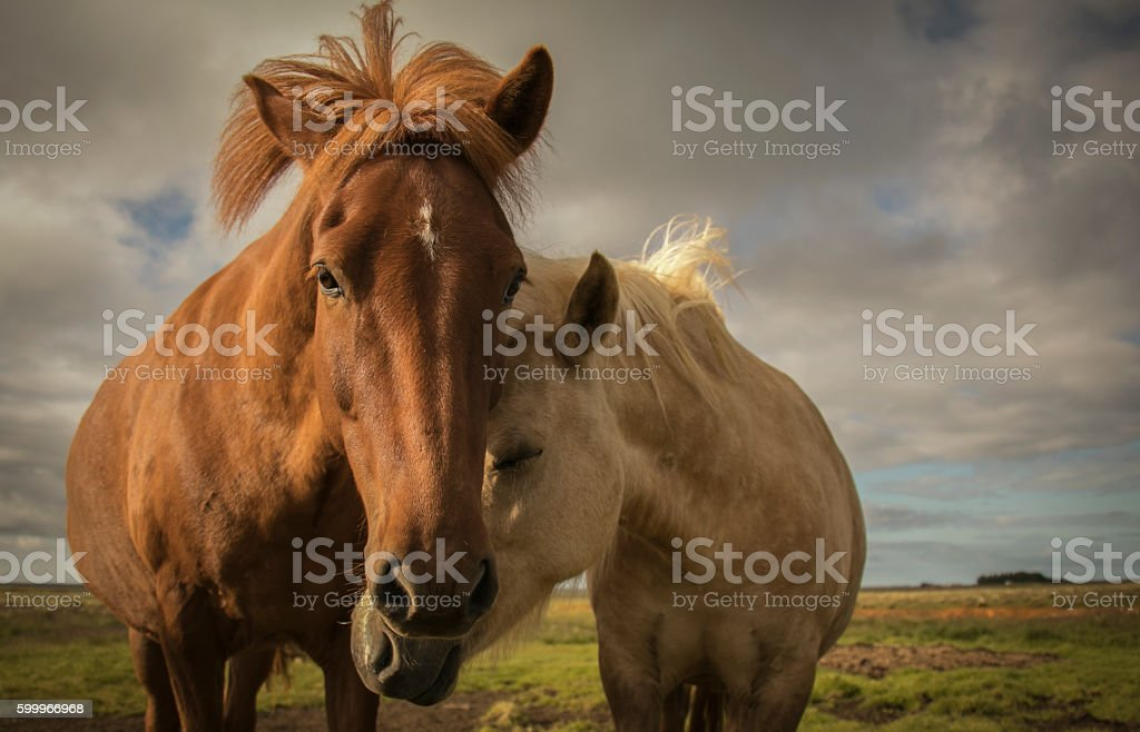 Horses Nuzzle stock photo